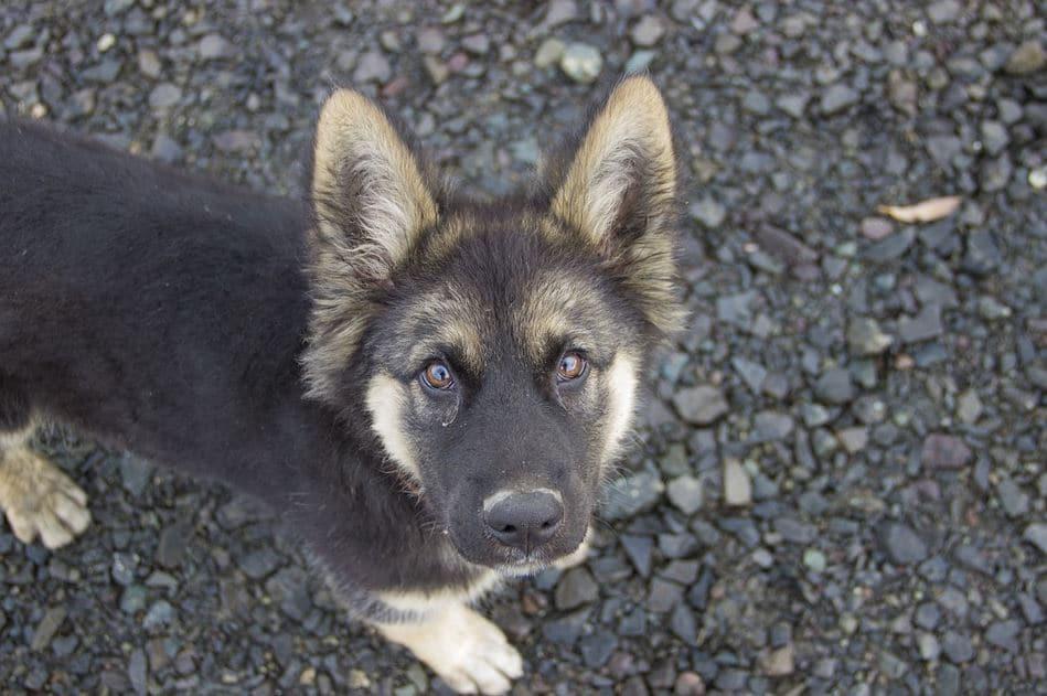Entrenamiento del cachorro pastor alemán